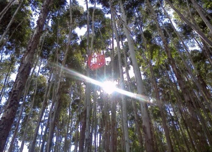 muda de eucalipto clonado
