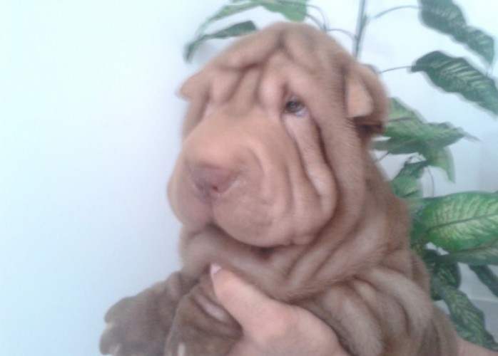sharpei com pedigree