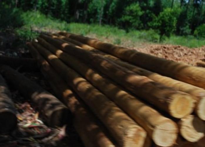 eucalipto madeira para cercas e curral