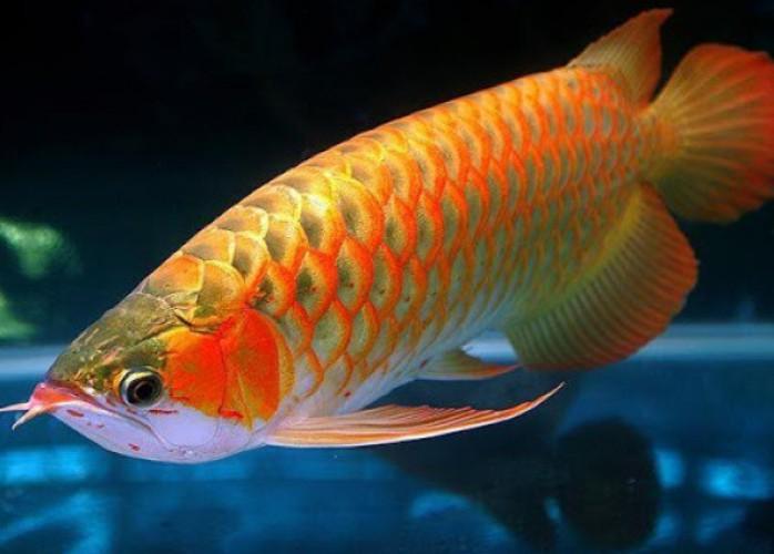 prêmio aruanã peixe à venda