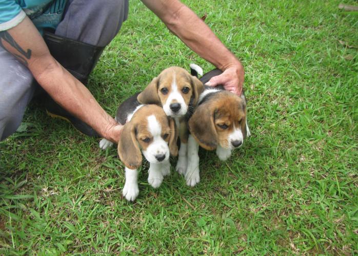 Venda de Filhotes Beagle