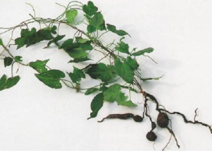 Foti Natural Fo-ti Semente He Shou Wu Cultivo - Cabelos 30 Sementes