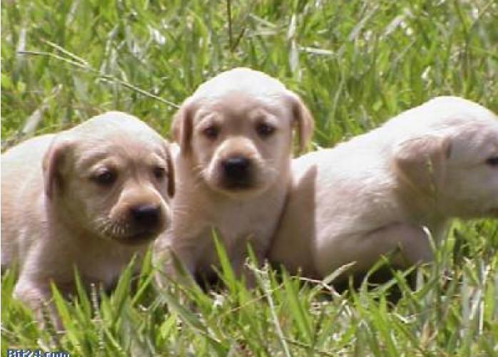Filhotes de Labradores (Amarelo e Preto)