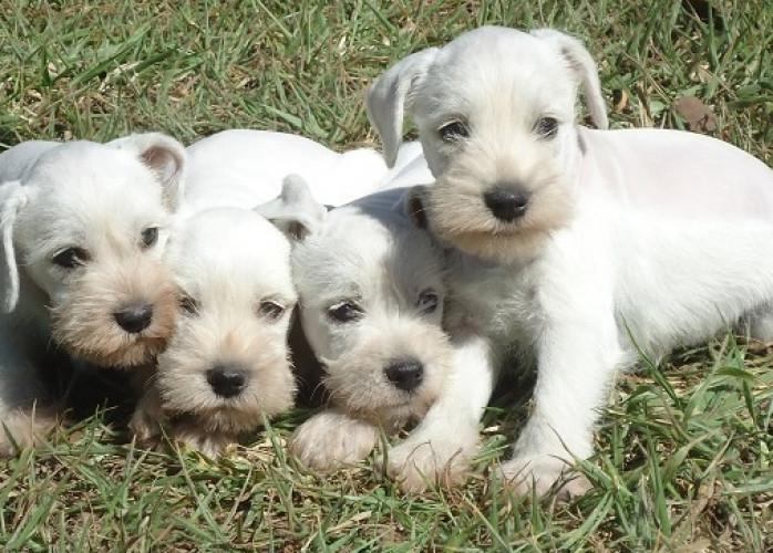 Schnauzer Branco Filhotes