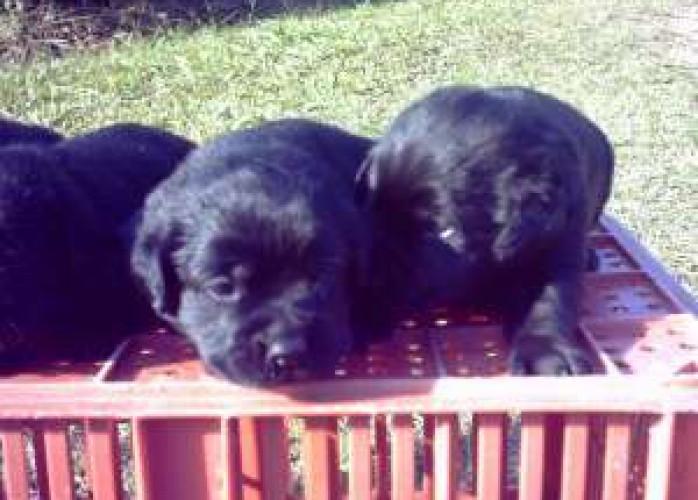 Filhotes de Labradores  (Preto)