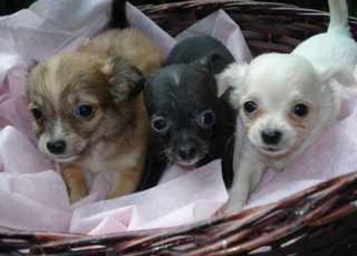 Filhotes de Chihuahua