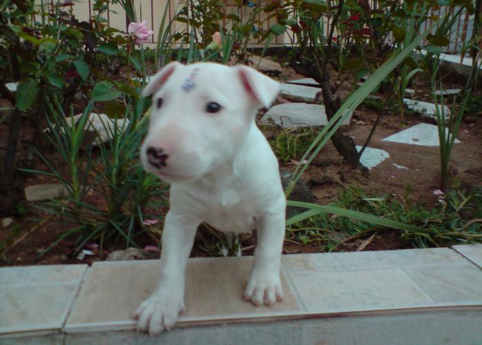 Bull Terrier belíssimos filhotes