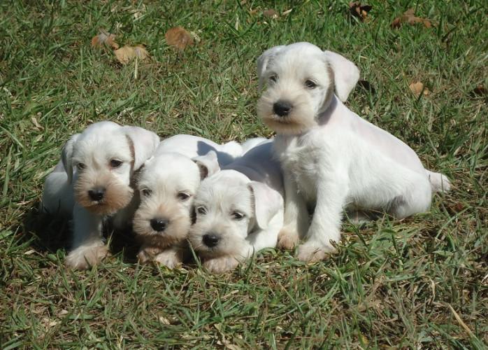 Schnauzer branco Filhotes Maravilhosos