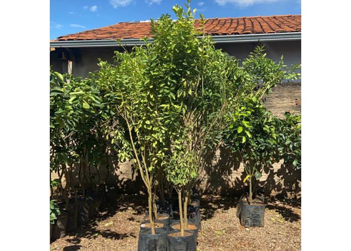 Mudas Mexerica Ponkan Produzindo 2 Mts - Goiânia