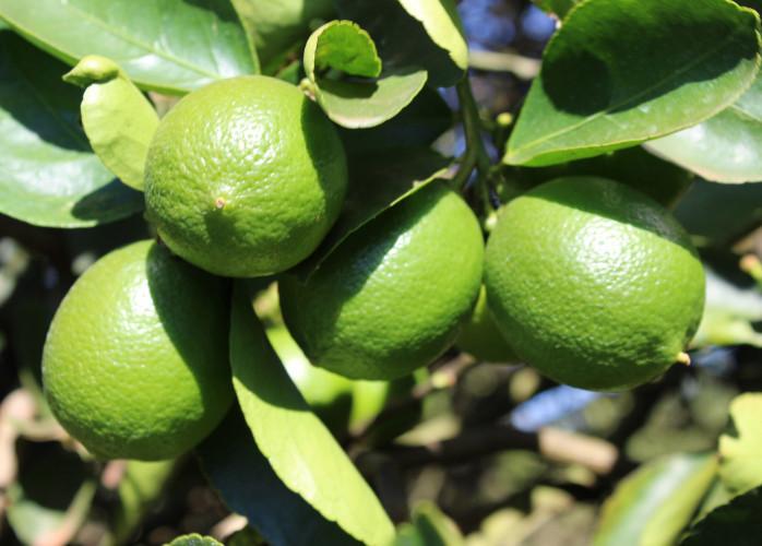 Mudas de Limão Taiti Produzindo em Goiânia