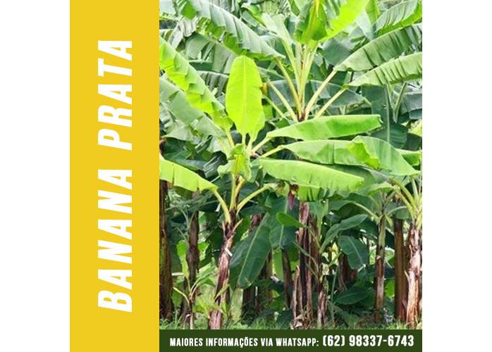 Mudas de Banana Prata em Goiânia